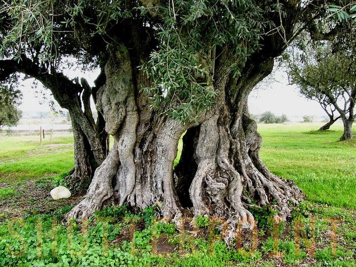 Auf diesem Foto sieht man einen alten Olivenbaum. Israelische Juden haben großes Wissen über Olivenbäume.