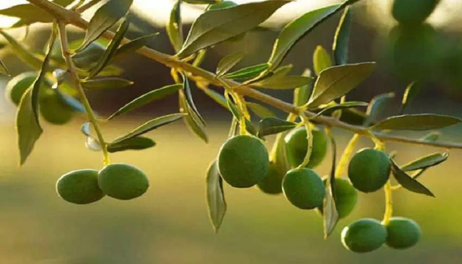 Mormonengeruch Oliven
