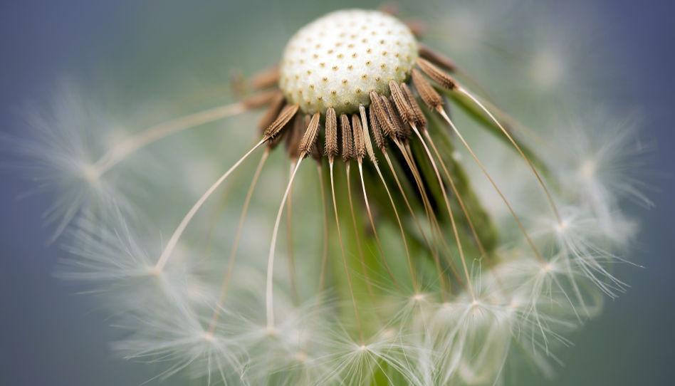Zu sehen ist die Nahaufnahme der Samen einer Pusteblume (Löwenzahn).
