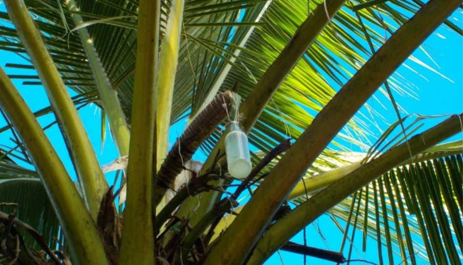 Zu sehen ist eine Kokosnusspalme, an welcher eine Flasche mit Karewe (Kokosnuss-Toddy) hängt.