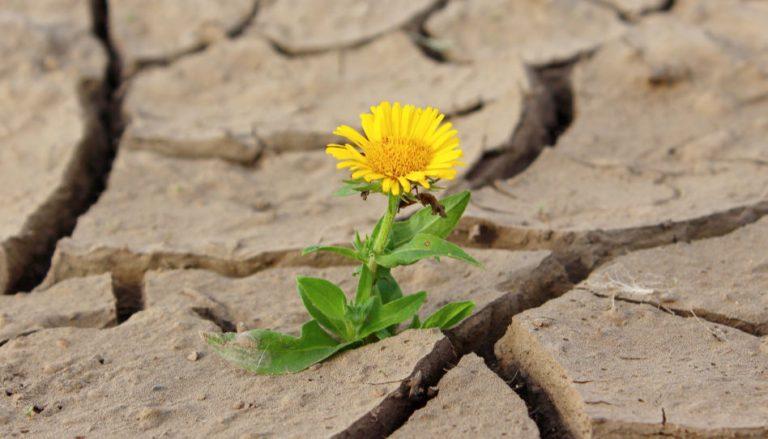Zu sehen ist ein Löwenzahn, der aus trockenem Boden wächst.