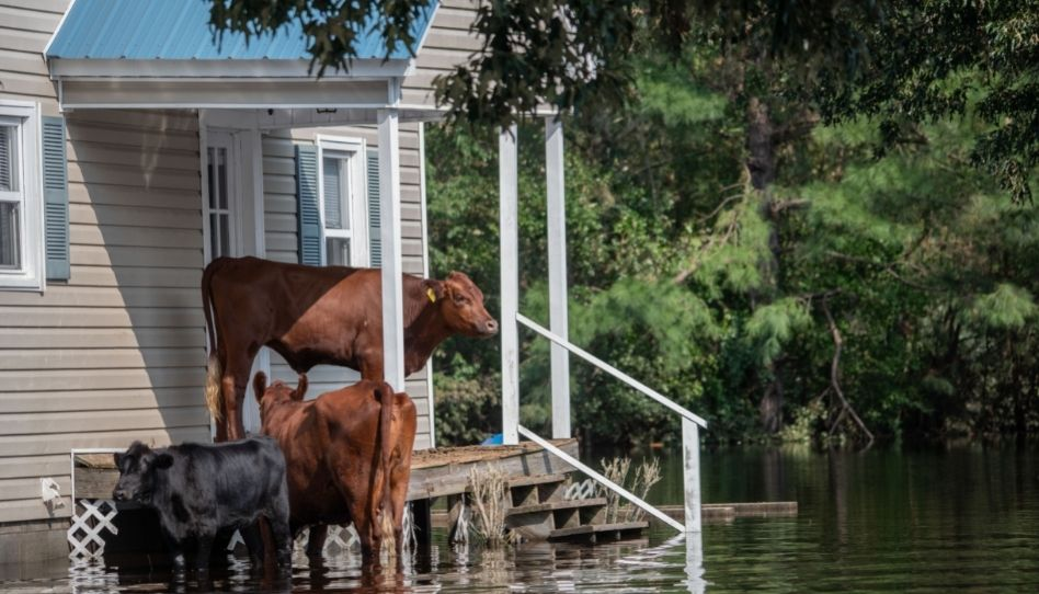 Drei Kühe stehen bei Hochwasser an einem Haus und suchen Schutz.